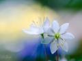 Hjartats blomster
