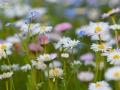 Blomsterängen