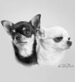 Chihuahuakompisar