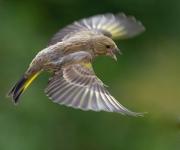 Fjäderflyg