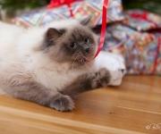 Katt med julsnöre