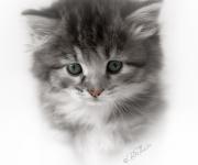 Sibirisk kattunge