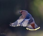 Sidensolfjädern