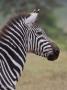 zebra i Lake Manyra, Tanzania