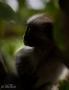 red monkey, zanzibar