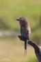 blåkråka, tanzania