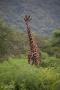 giraff i Lake Manyara, Tanzania