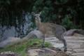 liten hjort serengeti, tanzania