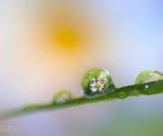 Blomstertårar