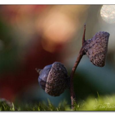 Tavlor - makro - Två ekollon