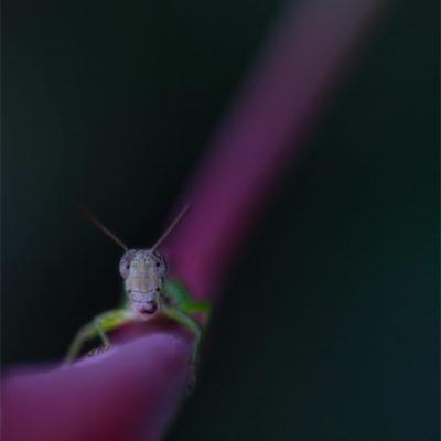 Gräshoppa på rosa strå