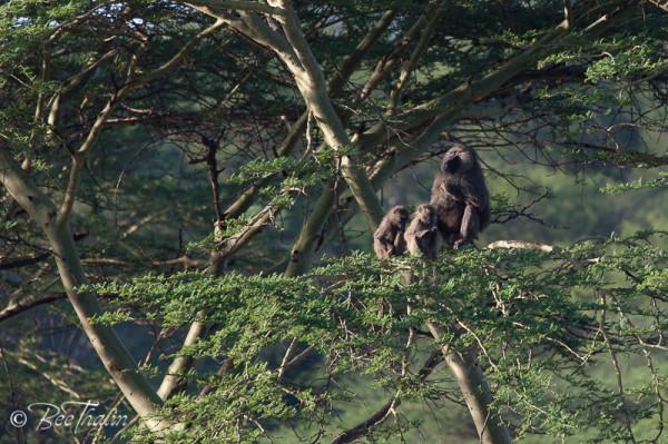 Apor i Serengeti