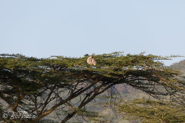 Grön Markatta i trädet