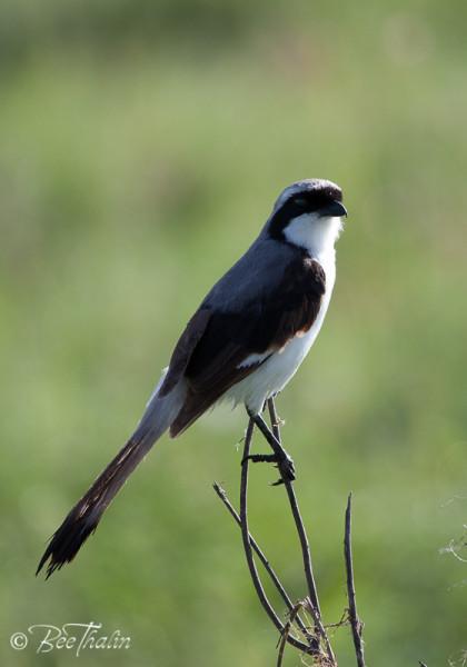 Typ varfågel