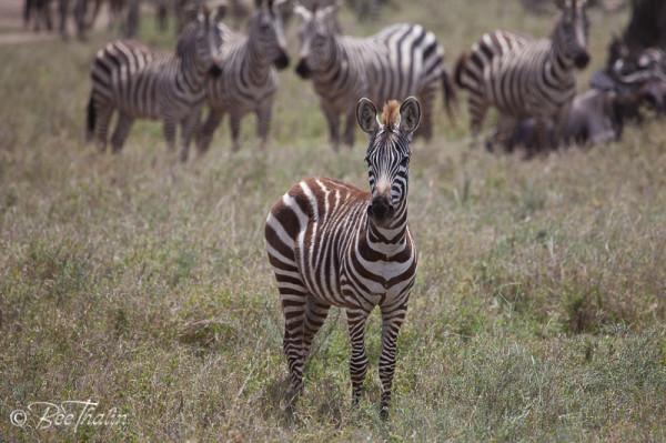 Zebraföl