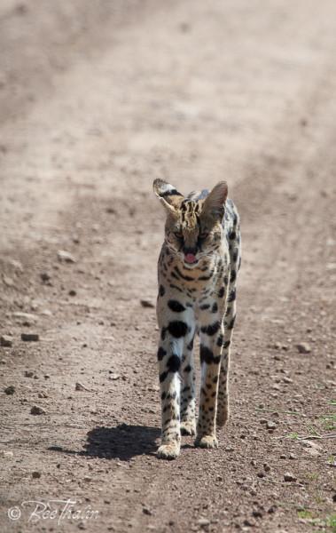 Servalkatt