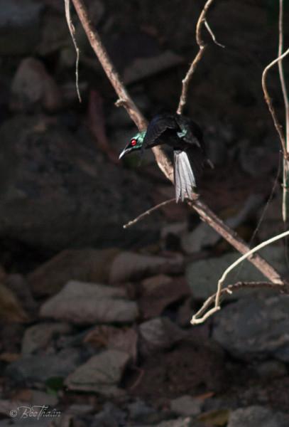 Philippine Glossy Starling