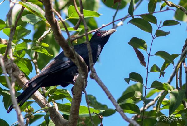 Svart fågel  med röda ögon