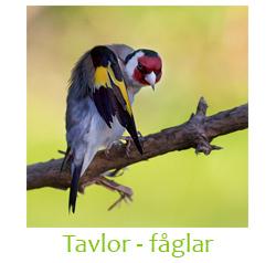 Tavlor - fåglar
