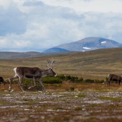 Renar betar på jämtländska fjället med lite snöklädda berg i bakgrunden. Platsen är fjällen utanför Åre fotat av Bee Thalin