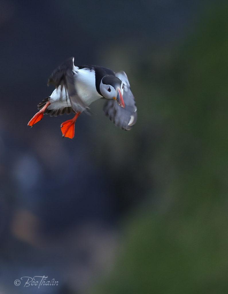 lunnefågel inför landning