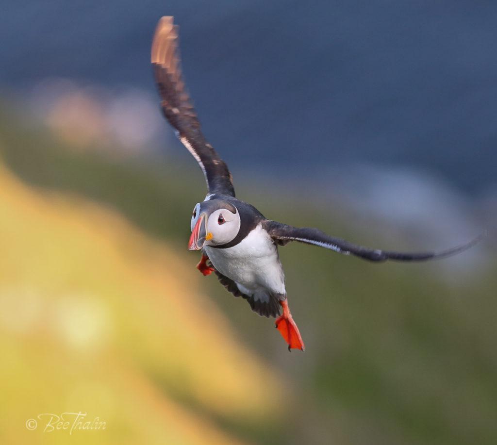 lunnefågel landar i solen
