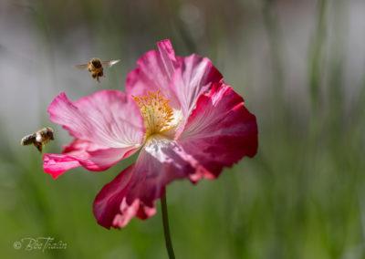 Två humlor landar på en rosa vallmo