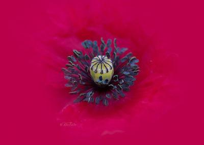 kort Vallmo  - I ett rosa hav