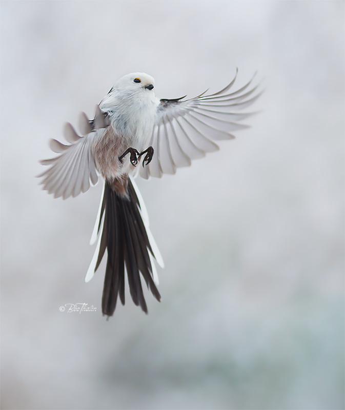 stjärtmes - Den lilla fredsängeln