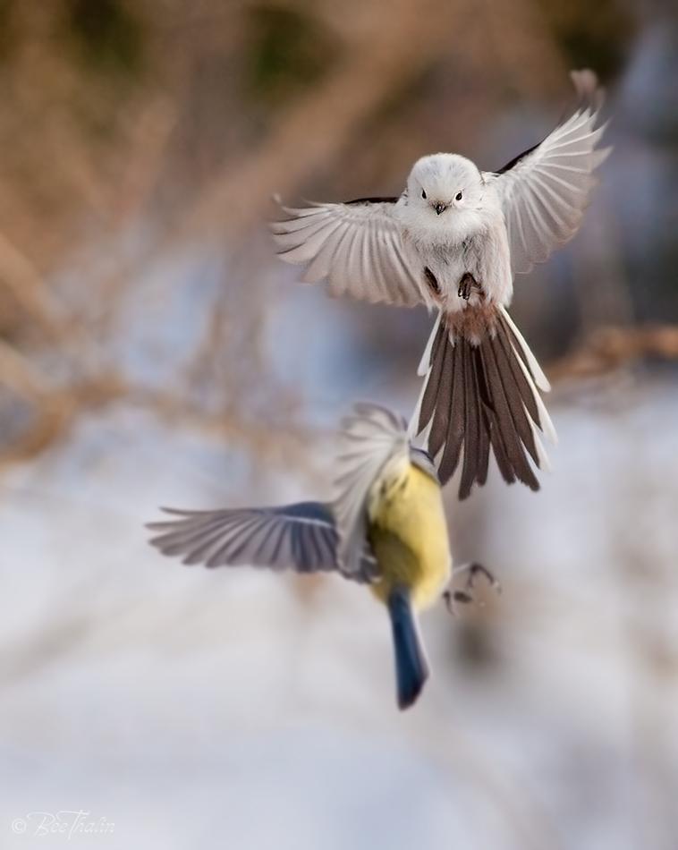 Stjärtmes och blåmes - Mesfight